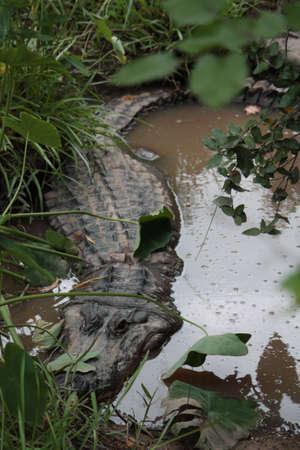 suspens: Un Alligator en Louisiane en attente