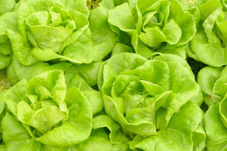 butter head: Butter head Lettuce in the vegetable garden