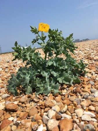 dungeness: Yellow Horned Poppy Flower alone in Dungeness Desert