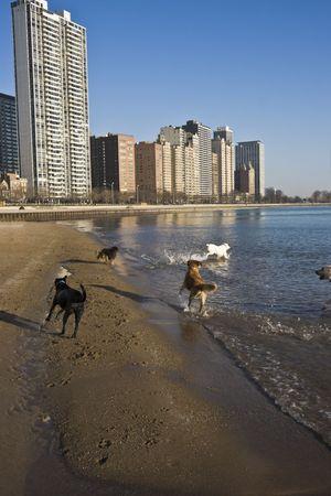 cna: Cani che giocano sulla spiaggia a Chicago
