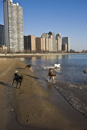Dogs playing on the beach in Chicago photo