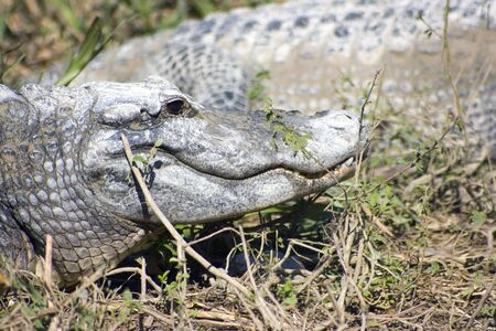 everglades national park: Resting Alligator - Everglades National Park