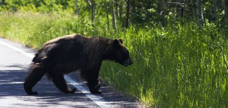 Bear in Glacier National Park in Montana. Stock Photo - 5808036