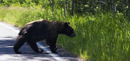 Bear in Glacier National Park in Montana. Stock Photo - 5808036