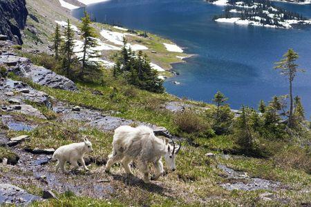 Mountain Goat Family seen in Rocky Mountains. photo