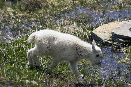 cabra montes: Nueva generaci�n - beb� de cabra mont�s, visto en las monta�as Rocosas.