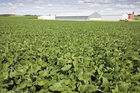 Green soybean field, red farm buildings in the background. Stock Photo - 5834760
