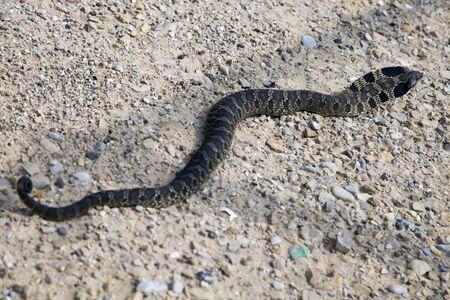 Bullsnake met on the gravel Reklamní fotografie