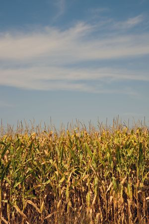 midwest usa: Corn field, summer time. Midwest, USA.