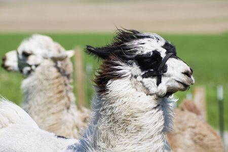 Llama farm in Wisconsin, USA Archivio Fotografico - 9760427