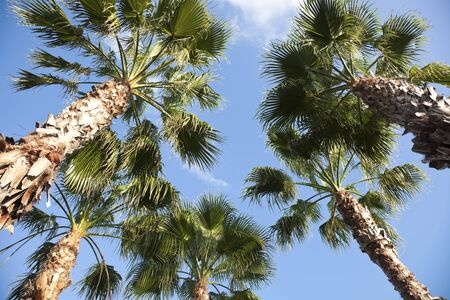 Palms - looking up. Seen in Miami
