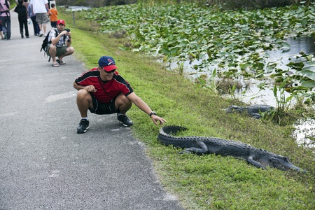 irresponsible: Shark Valley Loop Rd in Everglades National Park, FLorida, USA - December 27, 2011 Irresponsible tourist touching aligator in Everglades National Park. The park rules prohibit getting close to the predators. In FLorida alligators killed 12 people from 200