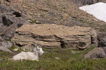 cabra montes: Mountain Goat en Parque Nacional Glacier, Montana