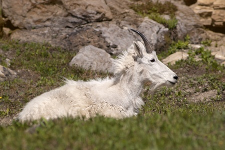 Mountain Goat in Glacier National Park, Montana photo
