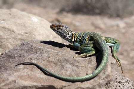 Colorful Collared lizard - seen in New Mexico