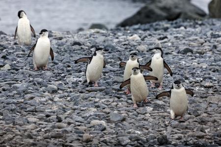 antarctic peninsula: Chinstrap pinguins walking on the rocks - Antarctic Peninsula area