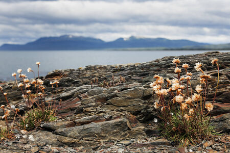 punta arenas: Flowers and Strait of Magellan, Chile, South America.