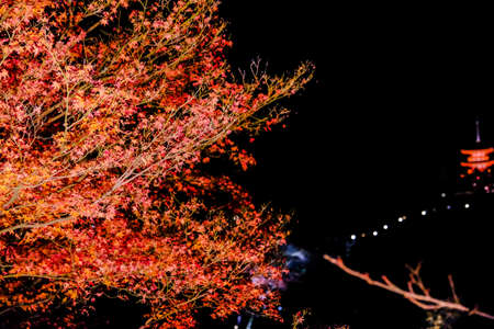 momiji: Autumn leaves , Colorful autumn foliage red maple (red Momiji) tree with light up in the night in Kyoto, Japan