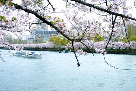 Sakura Cherry blossom along the river in Sakuranomiya Park, Osaka, Japan in spring