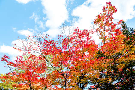 Bright colorful autumn trees in red maple tree and orange maple tree against clear cloud blue sky background in autumn season ,Japan Stock Photo
