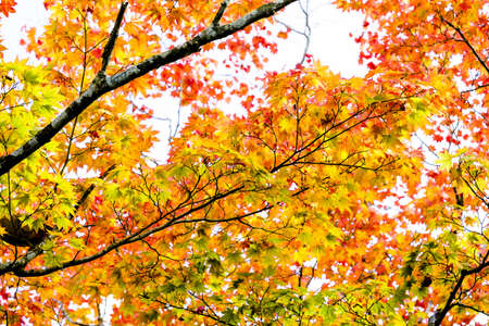 Maple autumn sunlight, maple tree branch in autumn turn to red, orange, green, yellow leaves in the autumn season Stock Photo