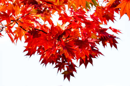 White isolated background red maple branch tree on sky in autumn season, maple leaves turn to red, season change in Japan