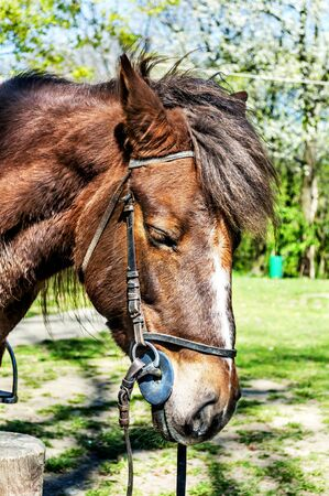 halter: Beautiful brown arabian horse with show halter