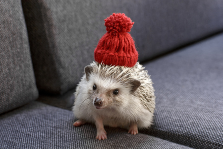 African Pygmy Small and adorable little Hedgehog with red hat Stock Photo