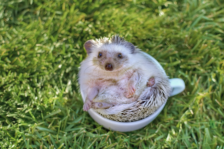 African hedgehog in white cup on the grass looking straight to the camera
