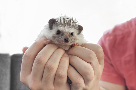 Man holding little pet African dwarf hedgehog on hand 版權商用圖片