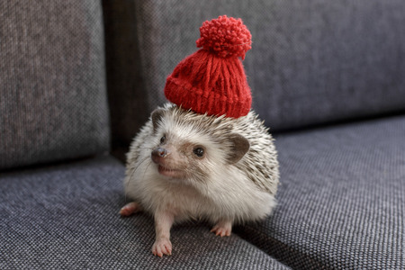 Small and adorable little African Pygmy Hedgehog with red hat