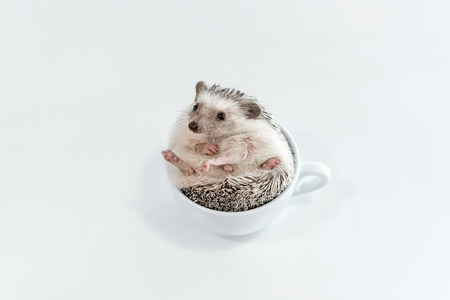Young little pet African dwarf hedgehog on a white table in a cup 版權商用圖片