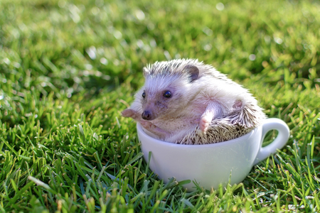 African hedgehog in a white cup on gass in park
