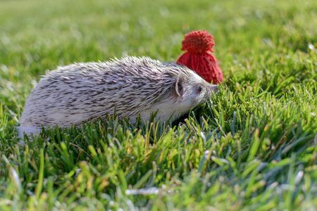 Small wild adorable hedgehog on the garden grass