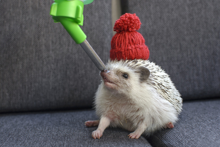 African Pygmy Hedgehog with red hat on soffa drinking water
