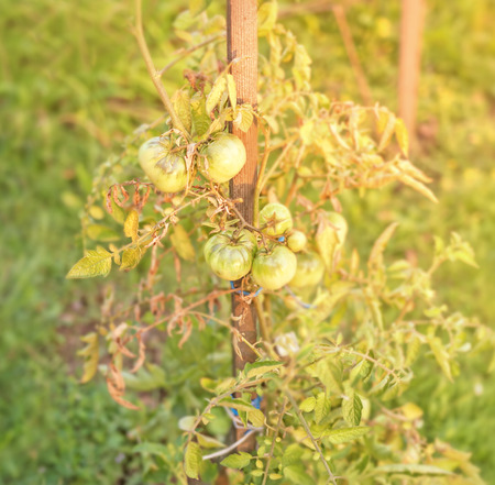 Green tomatoes, Agriculture concept with yellow sun Stock Photo