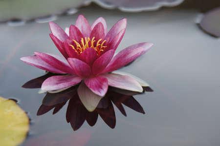 pink water lily Zdjęcie Seryjne