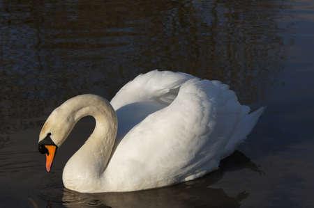swan in the sun Фото со стока