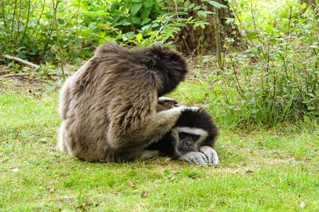 Two siamangs gibbons fleas together