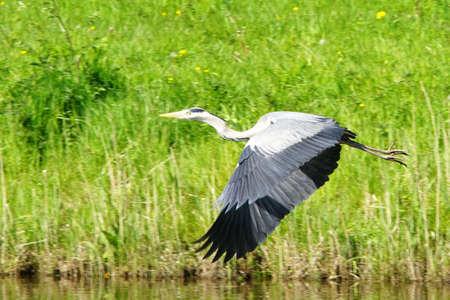 blue heron bird in flight