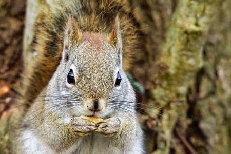 chordates: North American gray squirrel