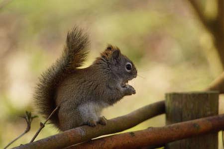 북미 회색 다람쥐
