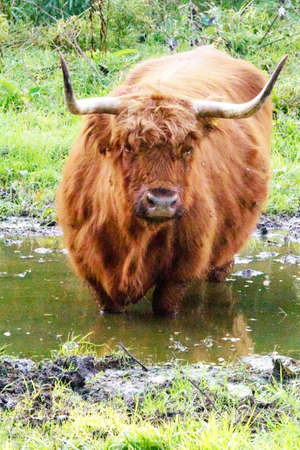 highlander: Scottish highland cools