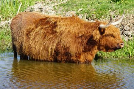 Scottish highlander cools