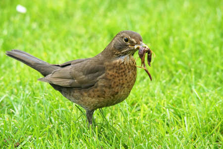 Blackbird collecte des vers