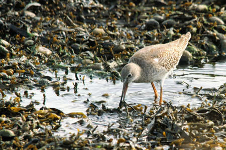 a redshank catches food during low water