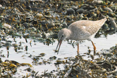 a redshank catches a crab Stock Photo - 107268511