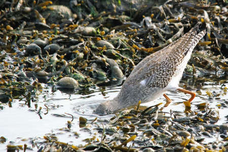 a redshank puts his head under water to get food