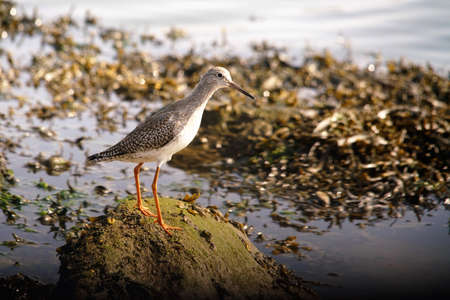 a redshank on a stone during low tide