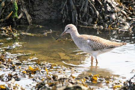 a redshell looking for food during low tide Stock Photo - 107268467